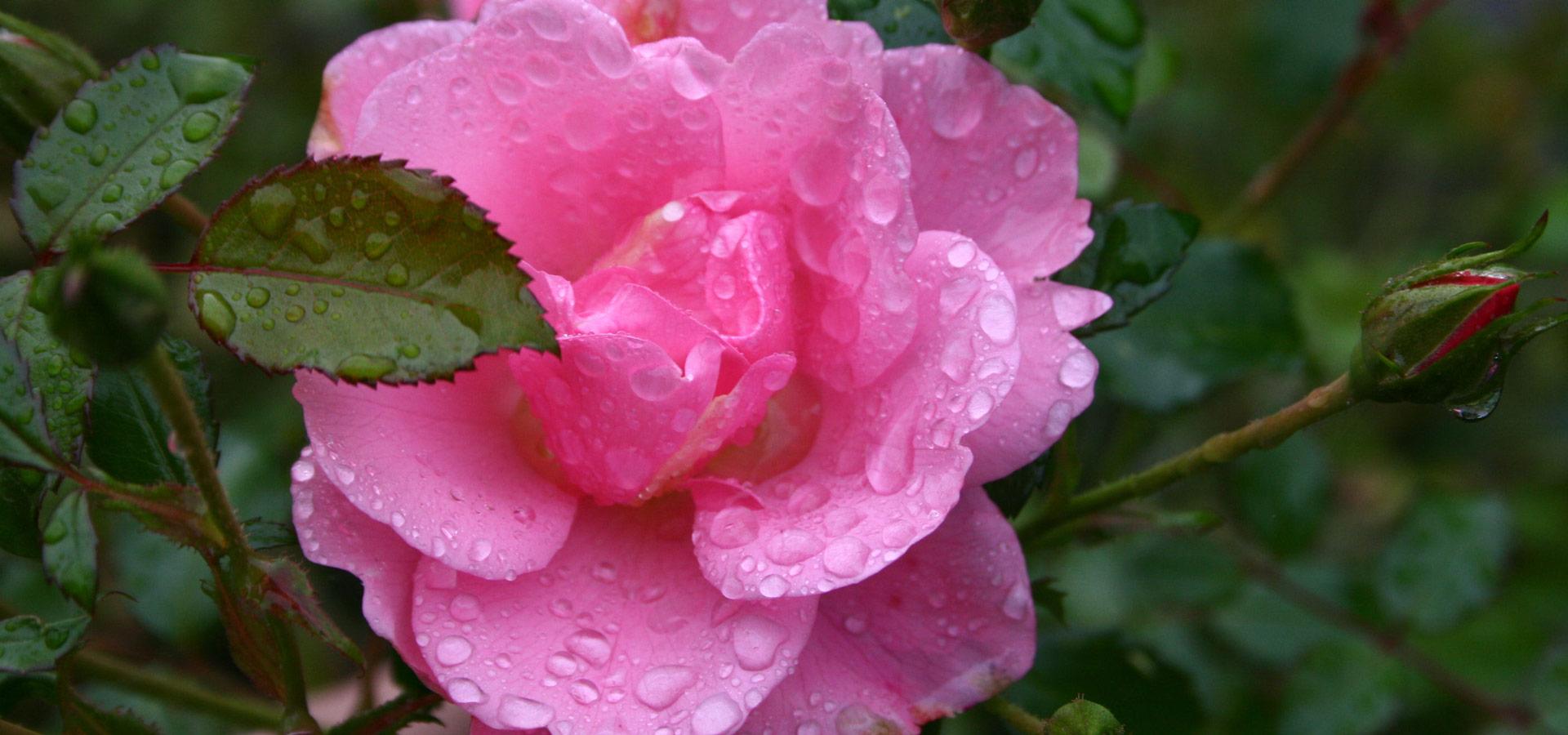 Rosenblüte Rosalie